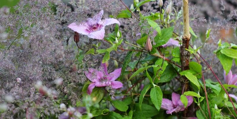 Clematis 'Hagley hybrid'
